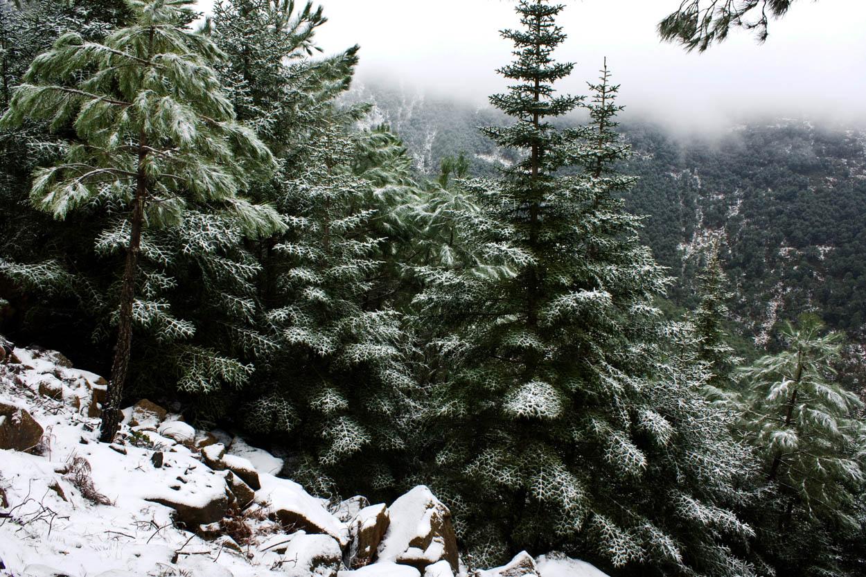Pinsapos Nevados